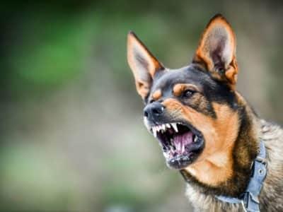 ¿Cómo Actuar Ante una Mordedura de Perro?